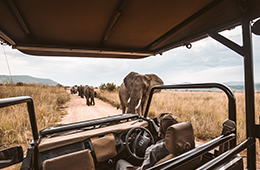 View from safari vehicle looking out at elephants on the path in grasslands